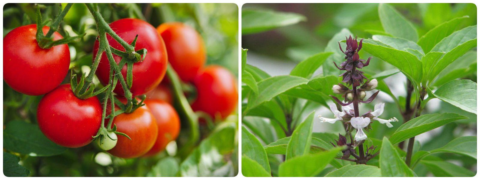 Trị mụn bằng cà chua và rau húng quế