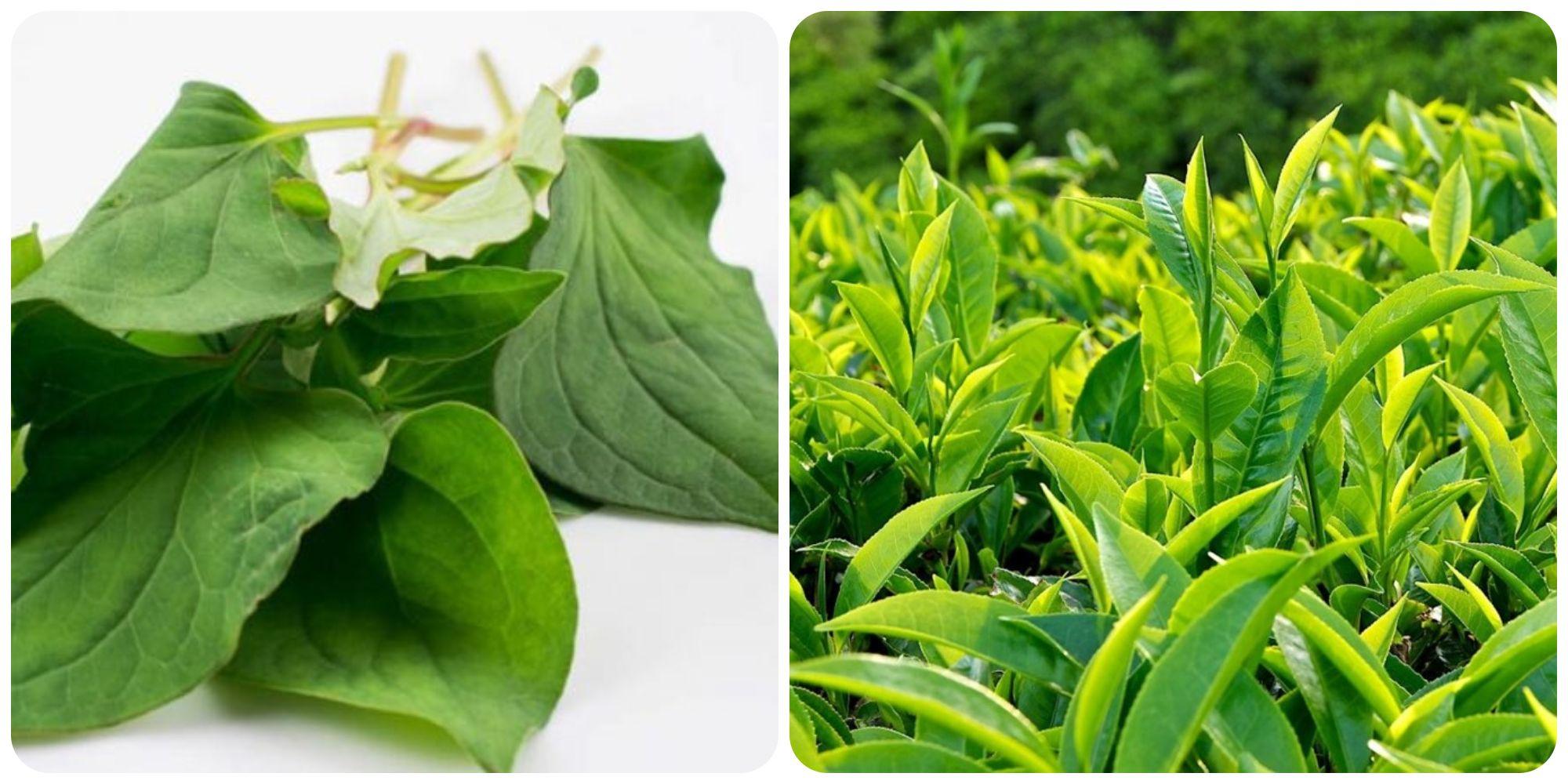 Trị mụn viêm bằng rau diếp cá kết hợp với lá trà xanh